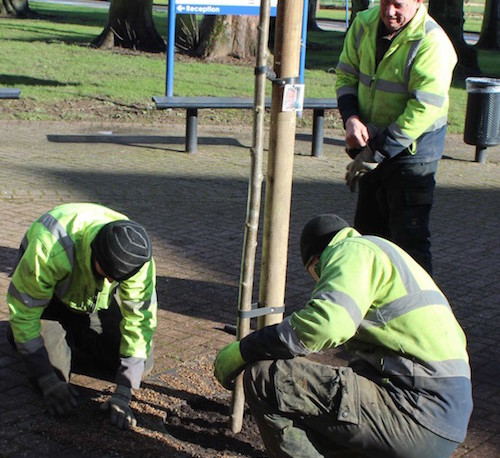 Rowan tree being planted for Jill Edbrooke